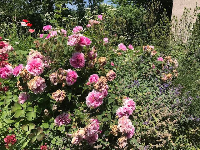 Rose  Empress Joséphine leidet unter der Glut der Sonne  (c) by Joachim Wenk