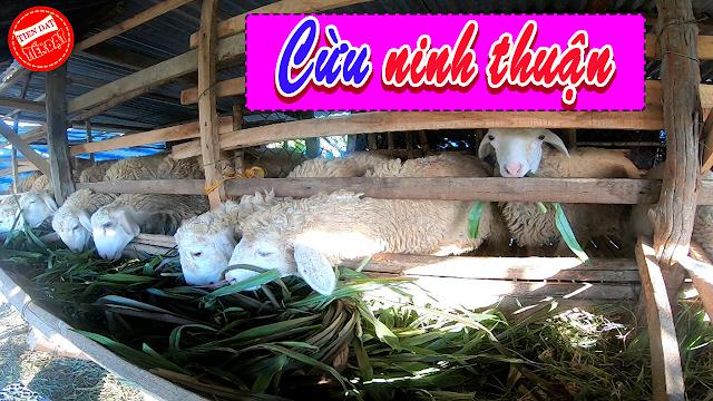 Mua cừu giống ở đâu uy tín và chất lượng
