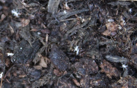 white soil mite
