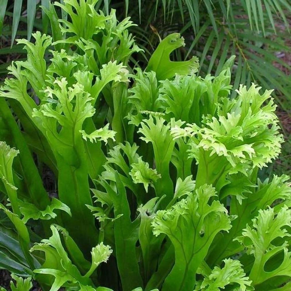 Tanaman hias bunga pakis kadaka tanduk rusa tanah Banjarbaru