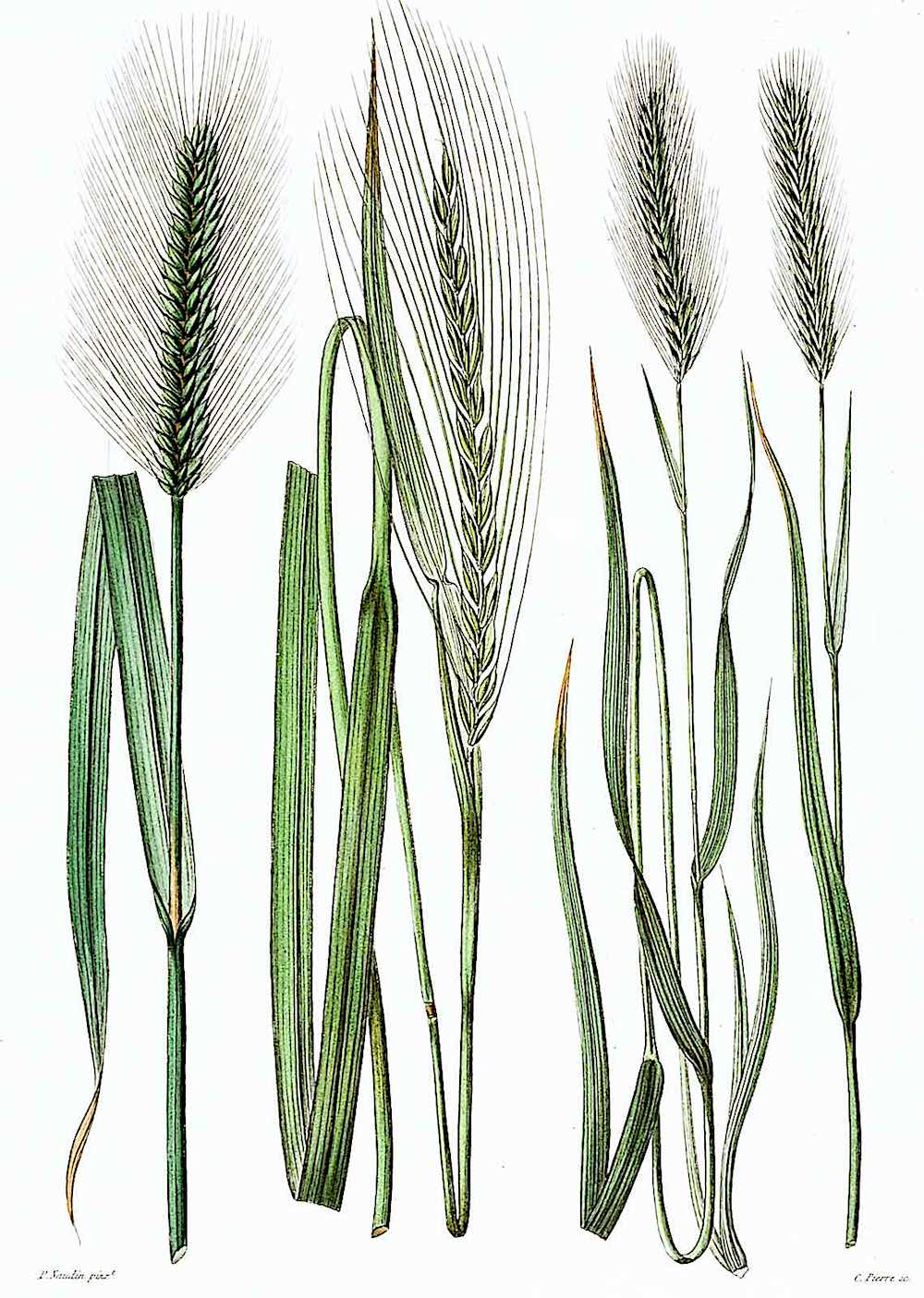 a Pierre Naudin 1800s horticultural illustration of grassy weeds
