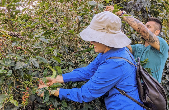 Costa Rica Itinerary: Picking coffee beans at Cafe de Monteverde