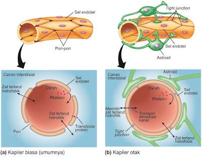 (a) Kapiler umumnya yang ditemukan di sebagian besar daerah di tubuh. (b) Kapiler otak. Walaupun astrosit sangat terkait dengan kapiler otak, dia bukan merupakan pengahalang fungsional.