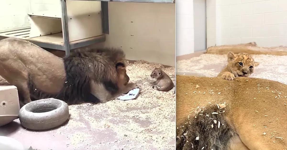Video From Denver Zoo Shows Male Lion Meeting His Tiny Cub For The First Time
