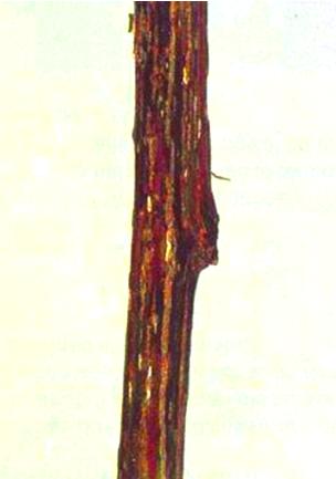 Bacterial canker on poplar shoot