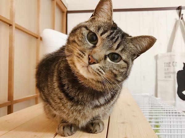 斜めに首を傾けてまん丸な瞳でこっちを見ているキジトラ猫