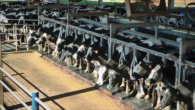 35,2 bilhões de litros por ano. Gado leiteiro da fazenda Agrindus