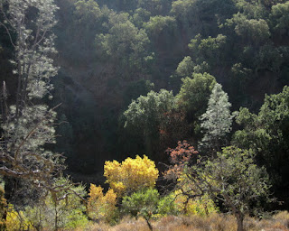 Brilliant yellow leaves on a sunlit tree in a valley along Panoche Road, San Benito County, California