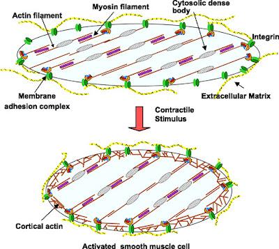 Bagian-bagian otot polos