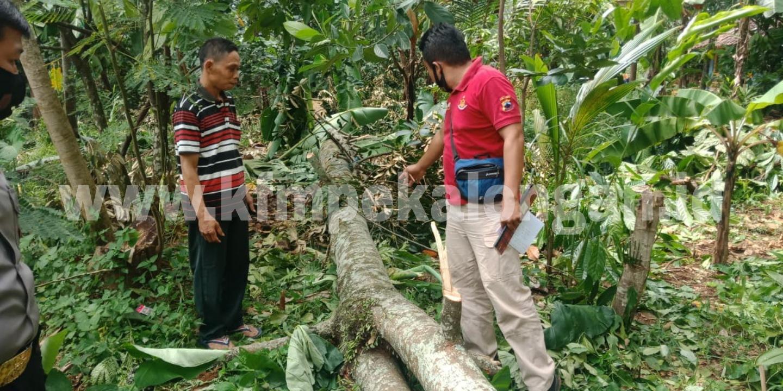 tewas-tertimpa-pohon-durian