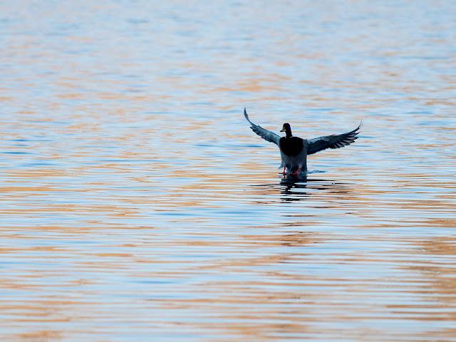 Ente landet auf dem Wasser