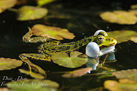 Wasserfrosch (Rana esculenta)