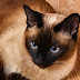 Siamese Cats Personality And Behavior