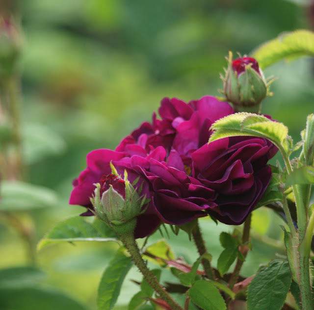 Tuscany Superb - en mørkerød sund rose