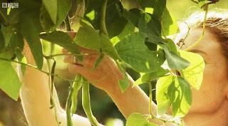 Alys Fowler picks beans