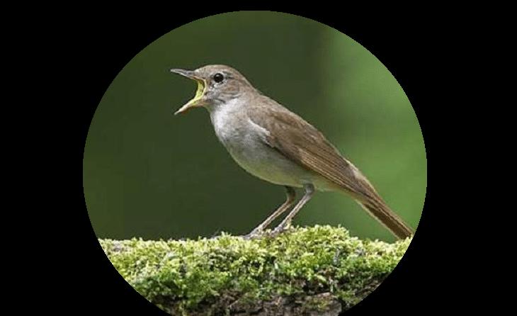 Viral Inilah Burung Sikatan Londo Samber Gluduk