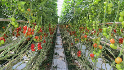 How to Growing Hydroponic Tomatoes