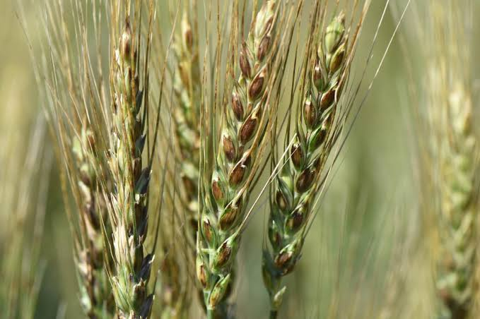 How to protect wheat crops from pests and diseases?