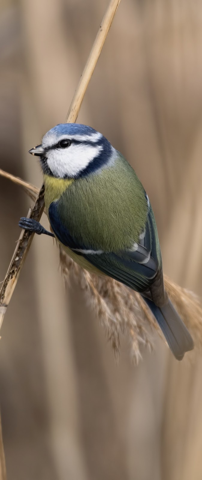 A cute blue tit.