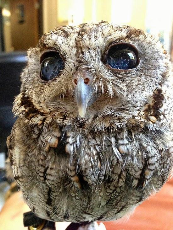 zeus coruja olhos estrelado