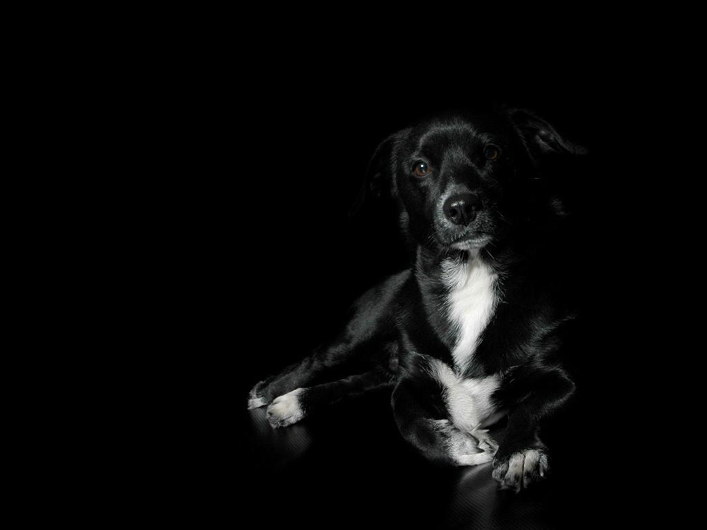 Fantastic Wallpaper Black Adorable Dog - Black-dog-wallpaper-5  Photograph_48177  .jpg