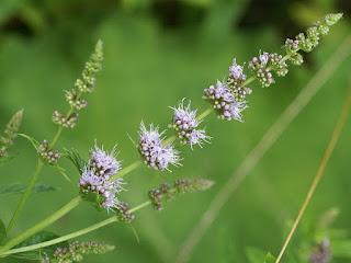 Menthe en épi - Mentha spicata