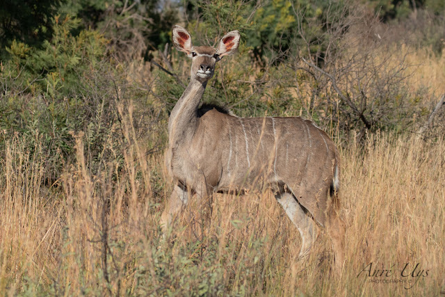 A Kudu pausing momentarily to inspect the environment