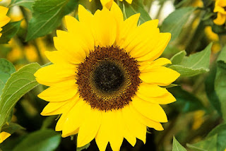 Gambar Bunga Matahari Paling Indah 20001_Sunflower