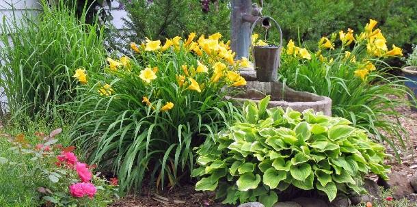 желтые лилейники + хоста + розы