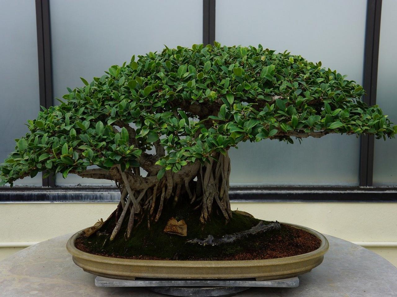 teknik-membentuk-bonsai.jpg