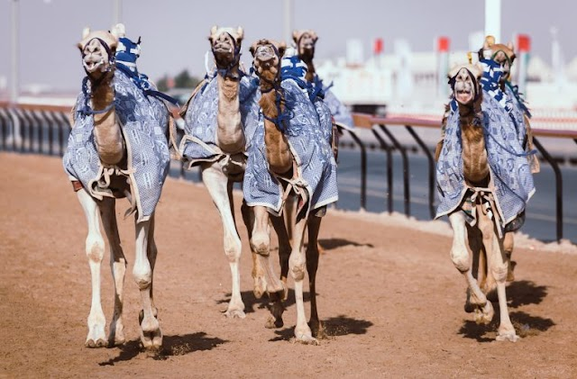 Learn all about camel racing at Al Shahaniya in Qatar