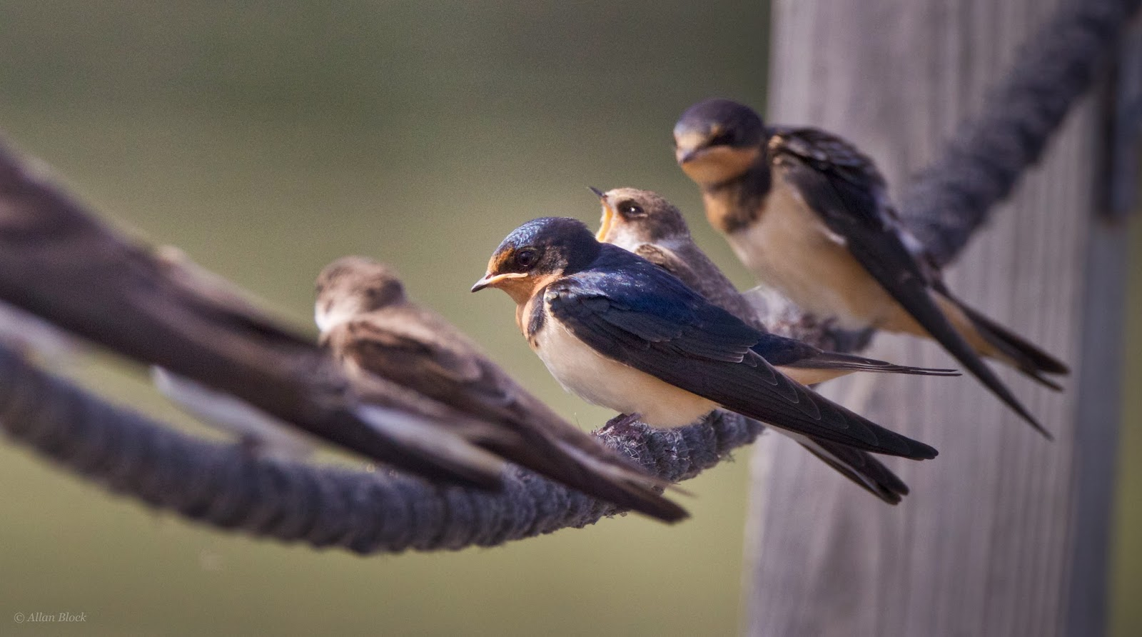 Feather Tailed Stories: Barn Swallow
