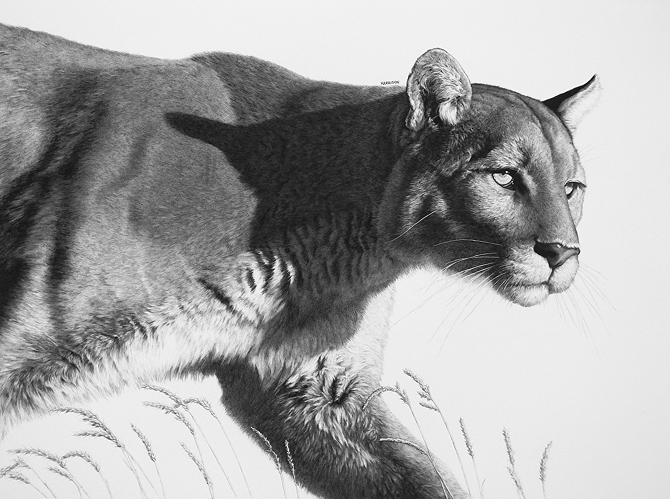 06-Morning-Hunt-Puma-William-Bill-Harrison-Majestic-Wildlife-Carbon-Pencil-Drawings-www-designstack-co