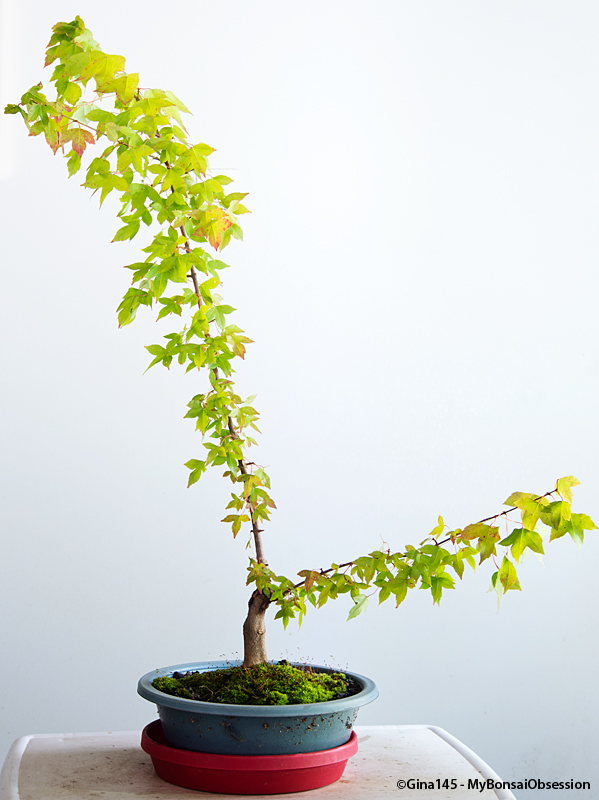 Stupendous My Bonsai Obsession A Year Spent Watching A Trident Maple Grow Wiring Digital Resources Cettecompassionincorg