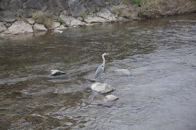 Garza en el rio