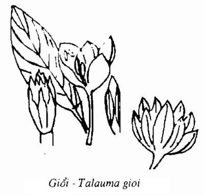 Hình vẽ Giổi (Dổi) - Talauma gioi - Nguyên liệu làm thuốc Chữa Tê Thấp và Đau Nhức