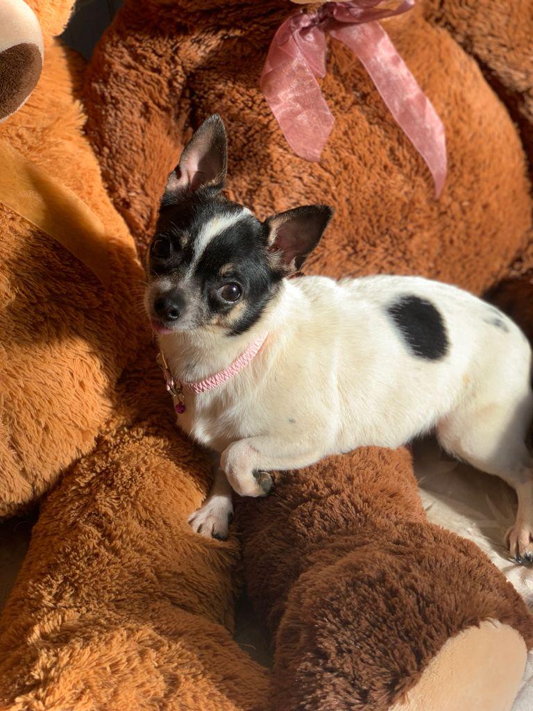 Hermosa Hembrita Chihuahua