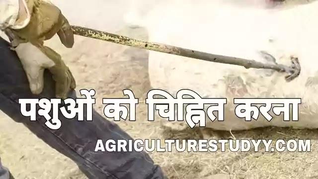 पशुओं को चिह्नित करने की प्रमुख विधियां, methods of marking animals in hindi, पशुओं को चिह्नित करने के उद्देश्य, पशुओं को चिह्नित करने के लाभ