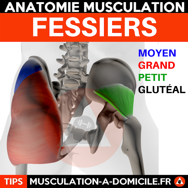 musculation à domicile anatomie des muscles fessiers gluteal booty