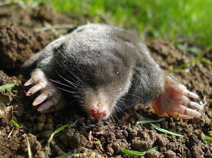 Come eliminare le talpe dal giardino edilizia in un click - Eliminare topi dal giardino ...