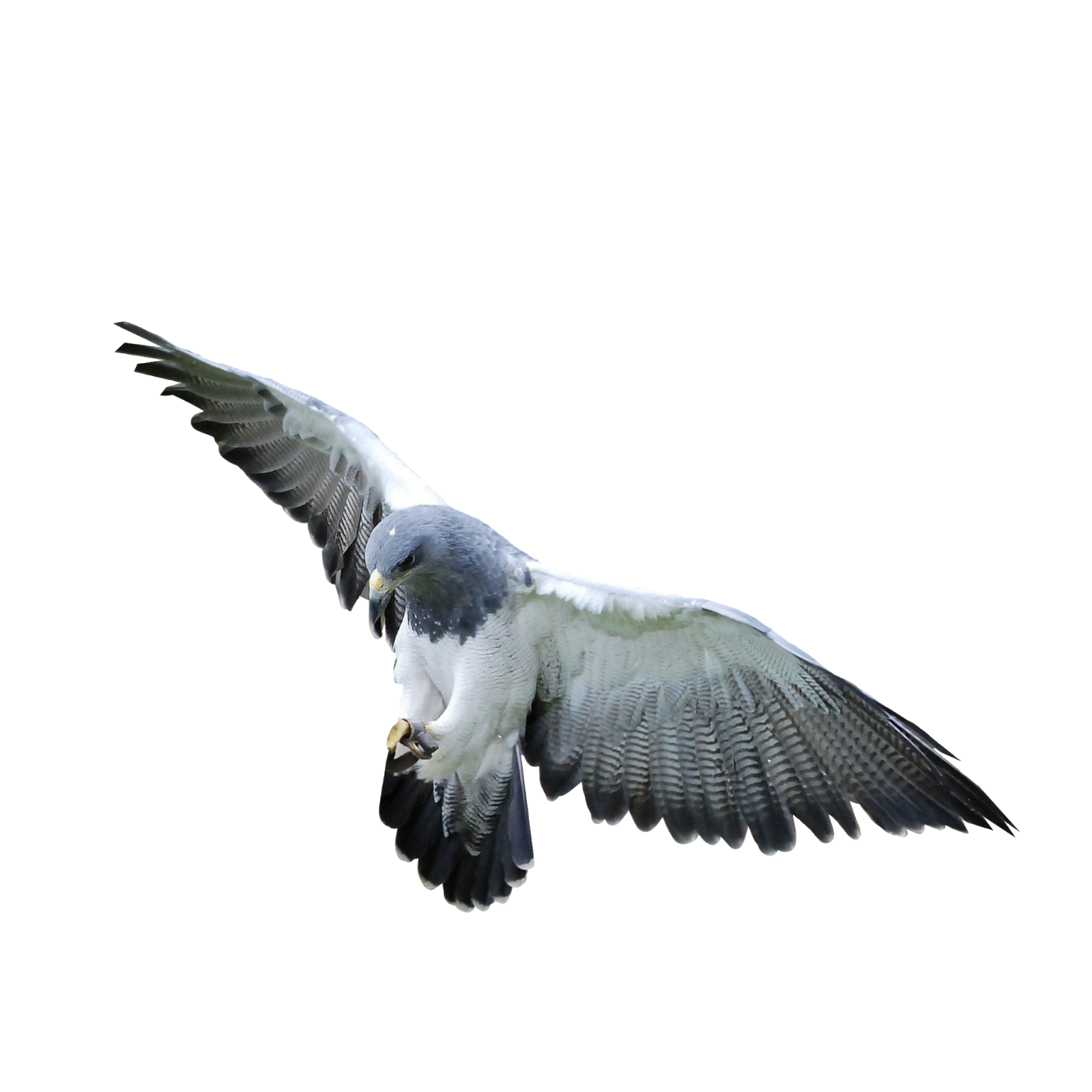 Pigeon photo editing Background Png Download for Picsart ...