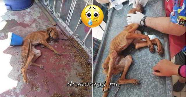Жестокий хозяин приковал собаку цепью к металлической решётке и забыл о ней. Спасатели увидели живой скелет