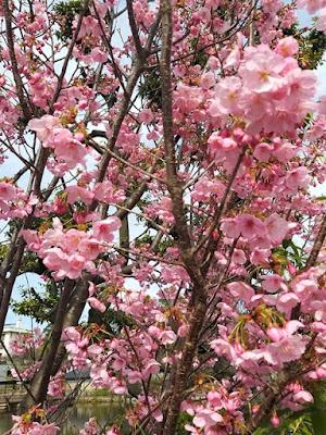 sakura jepang ueno park