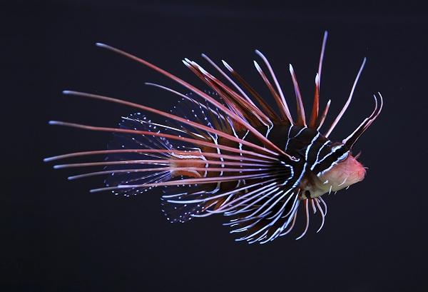 Radiata Lionfish - Một trong những sinh vật biển nổi trội tại S.E.A Aquarium