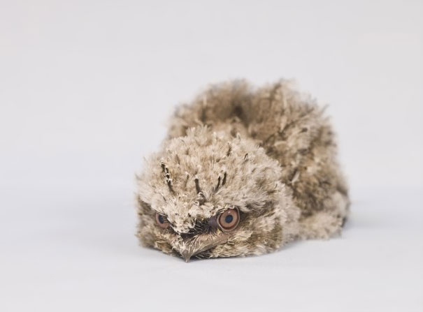 Baby Animals: Frogmouth Chicks 1