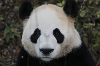 Fotografias de caras de osos pandas serios