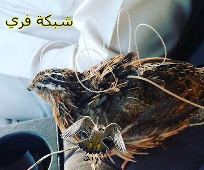 شبكة فري لصيد الصقور - falcon trap