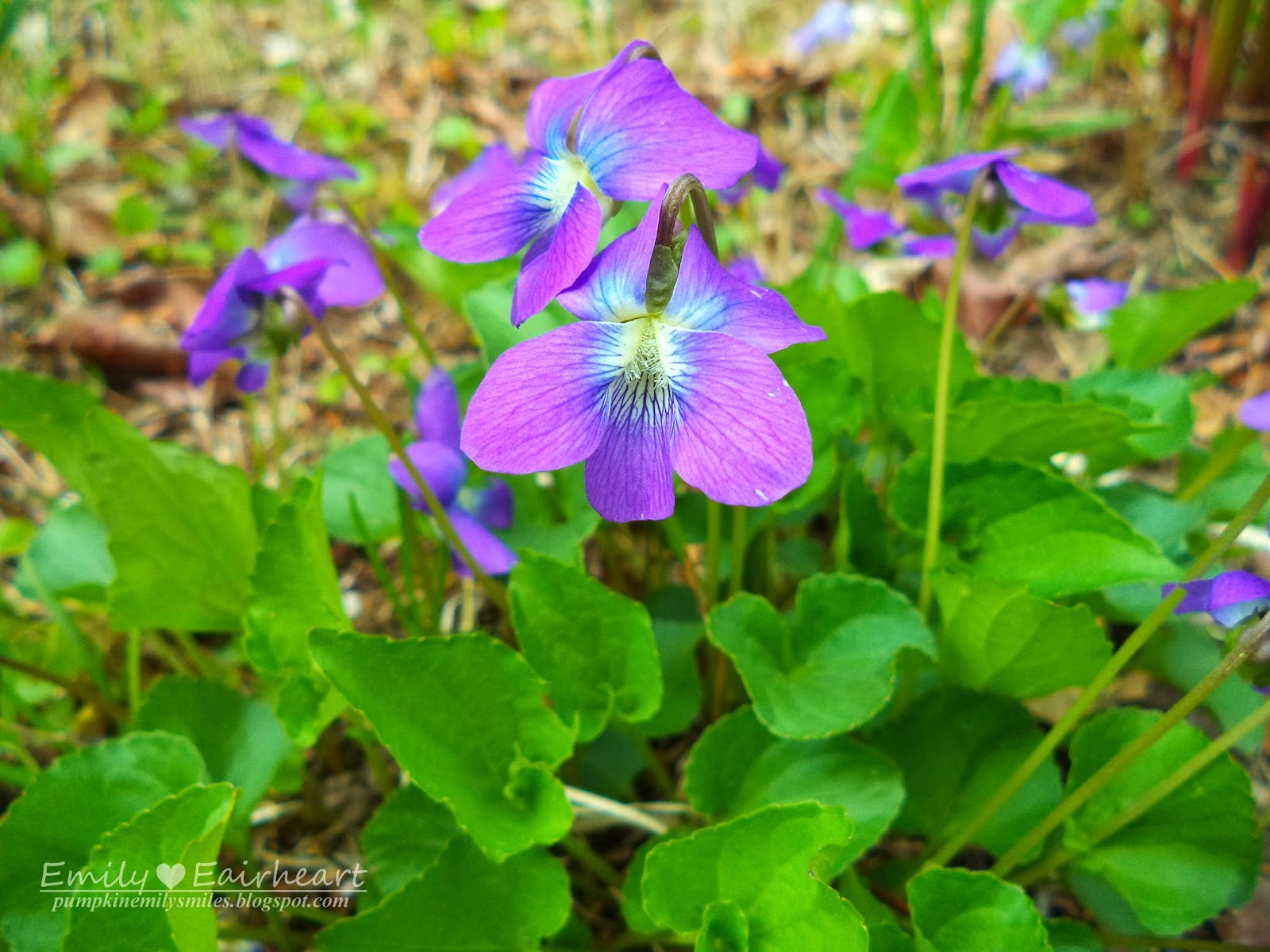 Wild Violets that look like the flowers in Alice In Wonderland.
