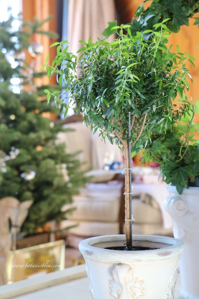 Winter living room myrtle topiaries to brighten homes after Christmas