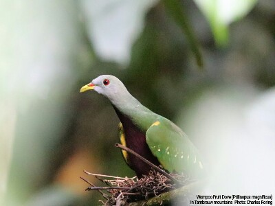 Birdwatching in West Papua of Indonesia